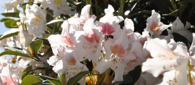 Rhododendron titel parc 39 s gartengestaltung gmbh for Gartengestaltung rhododendron