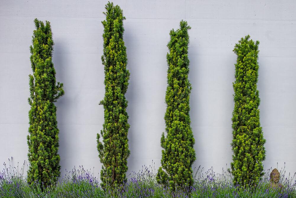 taxus-baccata-europäische-hecke-säulenförmig-parcs-gartengestaltungjpg